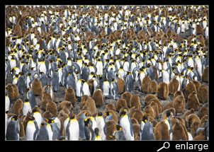 colony king penguins