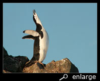 Ecstatic display of a chinstrap penguin