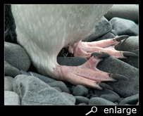Feet of a chinstrap penguin