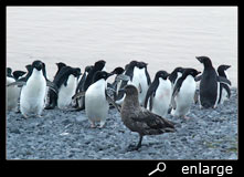 Skua and adelie penguins
