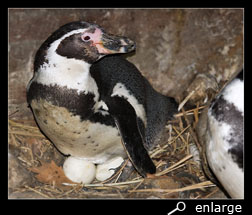 Humboldt penguin on nest