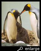 Begging for food of a king penguin chick