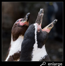 Mutual trumpeting of humboldt penguins