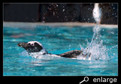 African penguin taking a bath