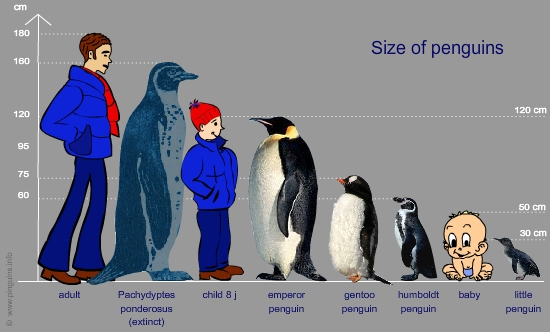 size of penguins