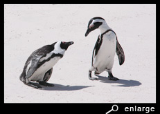 Staring african penguins