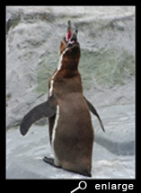 Ecstatic display of a humboldt penguin