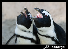 Mutual trumpeting of african penguins