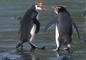Royal penguins