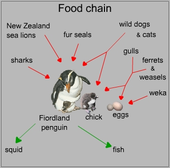 Food chain of a fiordland penguin