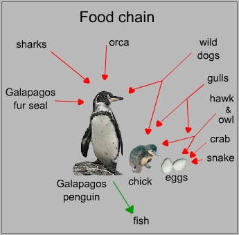 Food chain of a galapagos penguin