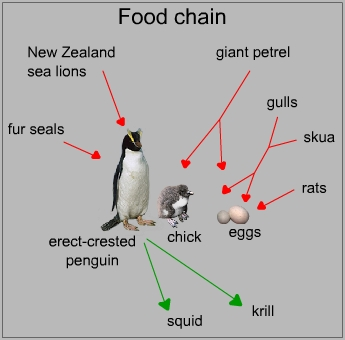 Food chain of an erect-crested penguin
