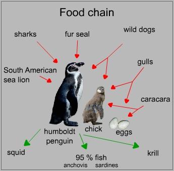 Food chain of a humboldt penguin