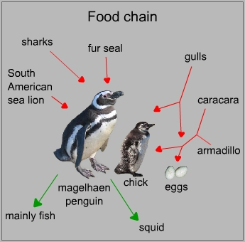 Food chain of a magellanic penguin