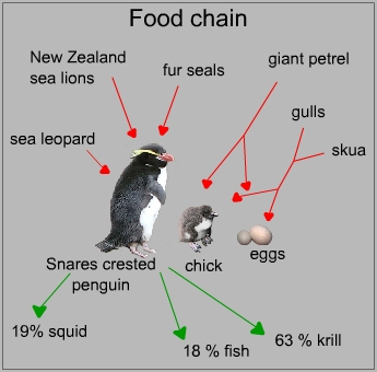 Food chain of a Snares crested penguin